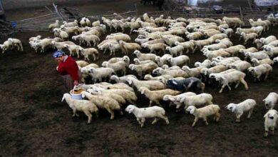 Photo of Tarım ve Hayvancılığın Başkenti Urfa'da Kaç Koyun Bulunuyor?