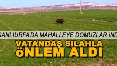 Photo of Urfa'da Mahalleye Domuzlar İndi!