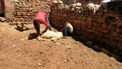 Photo of Urfa'da Koyun Kırpma İşlemi Devam Ediyor