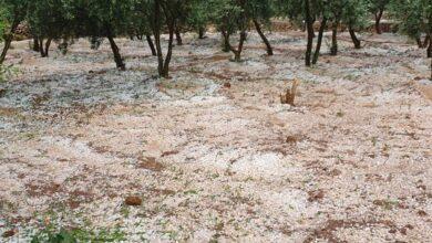 Photo of Bozova'da Dolu Yağışı: Bahçeler Büyük Zarar Gördü