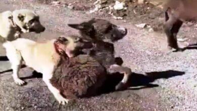 Photo of Sıpayı Köpeklere Parçalatıp Videoya Aldı