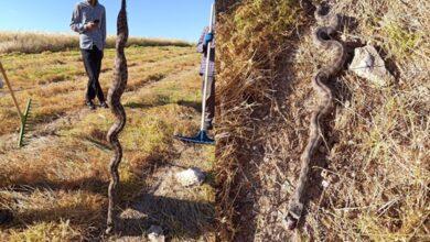 Photo of Şanlıurfa'da Tarım İşçileri Dev Yılan Saldırısına Uğradı
