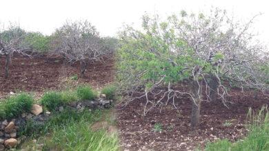 Photo of Şanlıufa'da Onlarca Fıstık Ağacı Kurudu