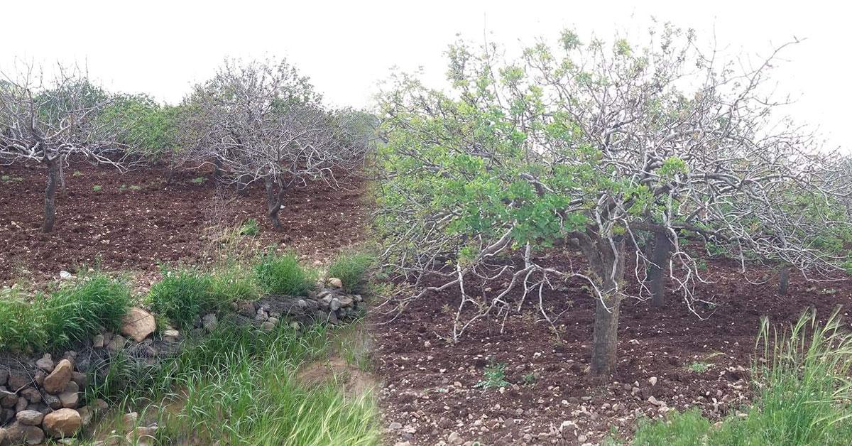 Şanlıurfa Fıstık Ağaçları