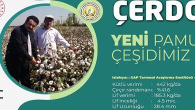 Photo of Urfa'da 2 Pamuk Çeşidi Tescil Edildi