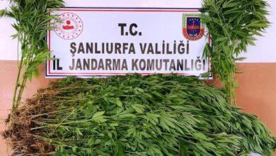 Photo of Şanlıurfa'da 2 Bin 367 Kök Kenevir Ele Geçirildi