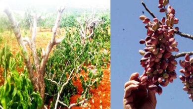 Photo of Urfa'da Fıstık Ağaçları Katledildi