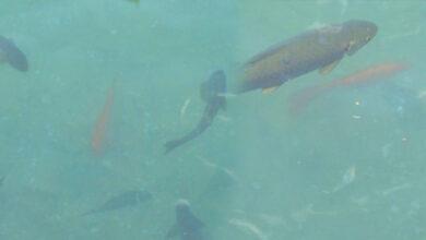 Photo of Balıklıgöl'de Bu Balığı Görenler Dilek Tutuyor