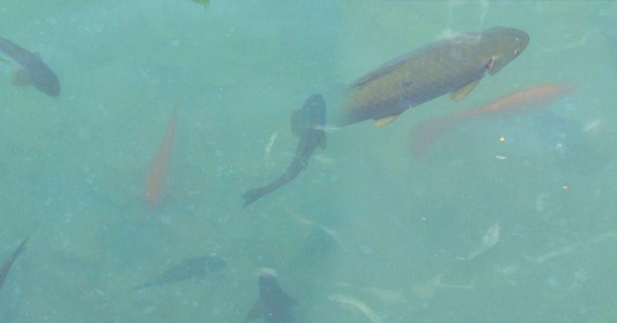 Balıklıgöl Sarı Balık