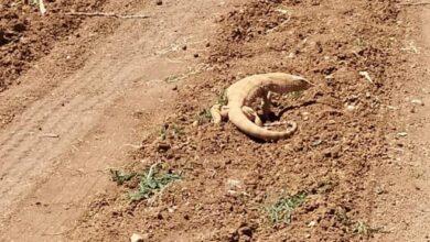 Photo of Vatandaşların Bulduğu Çöl Varanı Kayıt Altına Alındı