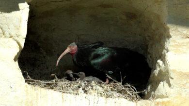 Photo of Şanlıurfa'nın Gözbebekleri Kelaynak Yavruları Yumurtadan Çıktı