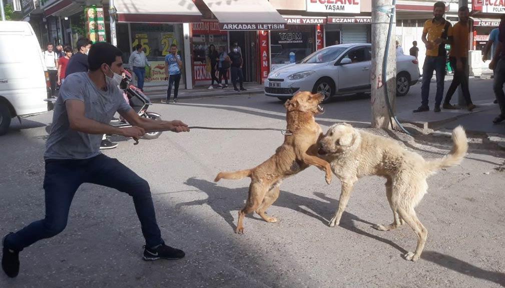 Şanlıurfa Köpek Kavgası