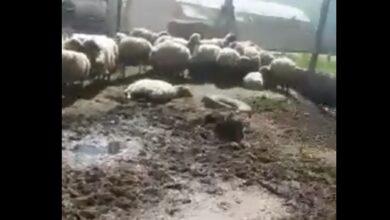 Photo of TİGEM' de Bir Skandal Daha: Hayvan Hapishanesi