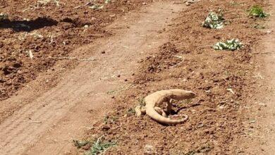Photo of Urfa'da Çöl Varanı Doğal Yaşam Alanına Bırakıldı