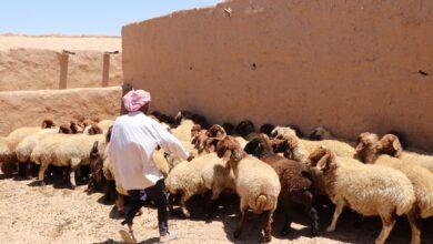 Photo of Suriyelilere Hayvancılıkta da Destek Veriliyor
