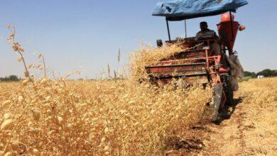 Photo of Urfa'da Yerli Nohutta Yüksek Verim Sağlanıyor