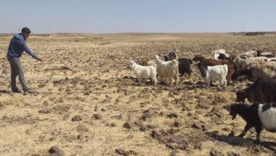 Photo of 50 Derecelik Urfa'da Çobanların Zorlu Mesaisi