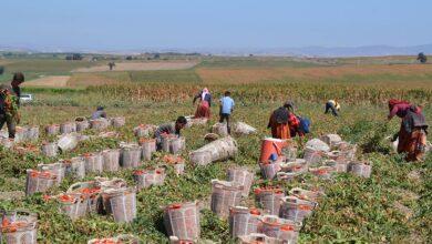 Photo of Siverekli Tarım İşçileri Domates Hasadına Başladı