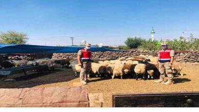 Photo of 200 küçükbaş Urfa'da hayvan sahibine teslim edildi