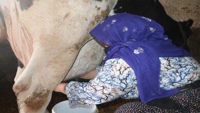 Photo of Mikro kredi ile aldığı inek geçim kaynağı oldu