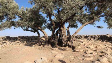 Photo of Şanlıurfa'da bin 350 yıllık zeytin ağacı bulundu