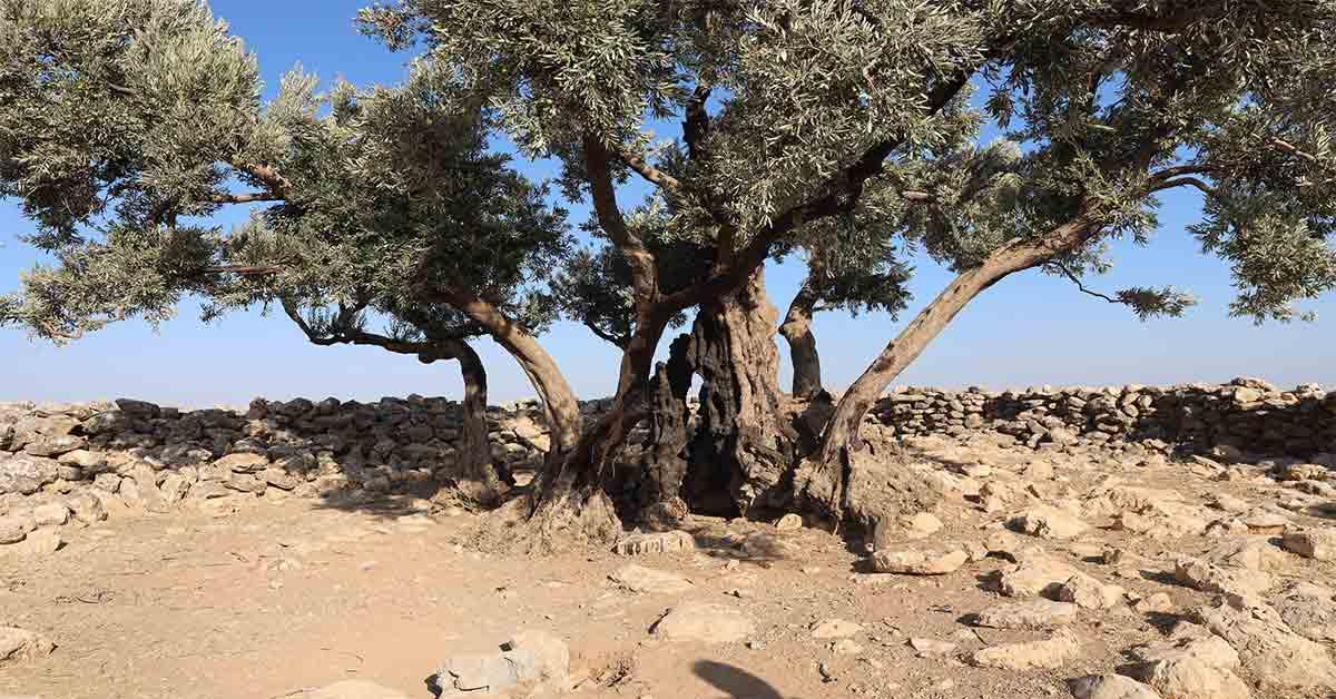 urfa da bin 350 yıllık agaç