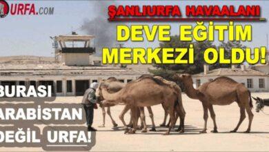 Photo of Şanlıurfa havaalanı deve eğitim merkezi oldu!