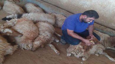 Photo of Şanlıurfa'da 150 koyun yediği bitkiden telef oldu
