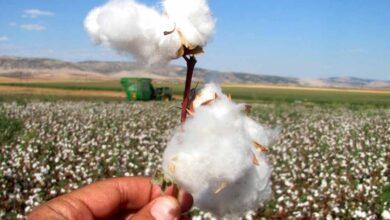 Photo of Urfalı Çiftçiler Bu Yıl Pamukta Altın Çağını Yaşıyor