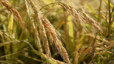 Photo of Siverek'te çeltik hasadına başlandı