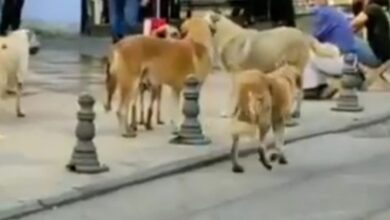 Photo of Urfa'nın göbeğinde başıboş köpekler!