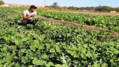 Photo of Şanlıurfa'da ıspanak hasadı başladı