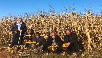 Photo of Şanlıurfa'da mısır tarlada kaldı
