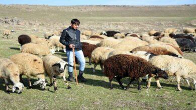 Photo of Urfa kısıtlamada çobanlar işlerinin başında
