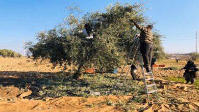 Photo of Urfa'da tarım işçileri sınırda zeytin topladı