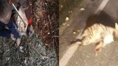 Photo of Otomobilin çarptığı çizgili sırtlan yaralandı Urfa'da Tedavi Altına Alındı