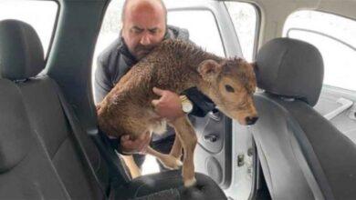 Photo of Donmak üzere olan buzağıyı arabasına alarak kurtardı