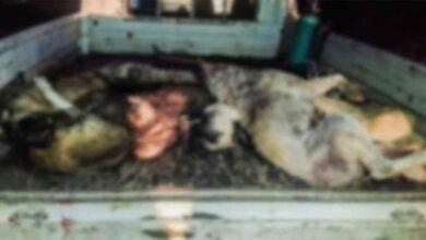 Photo of Ceylanpınar'da toplu köpek katliamı