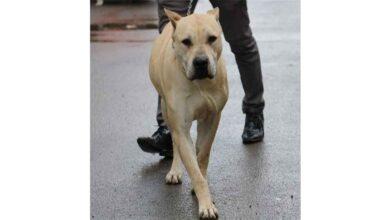 Photo of Köpekler, okullarda Covid-19 taraması yapacak