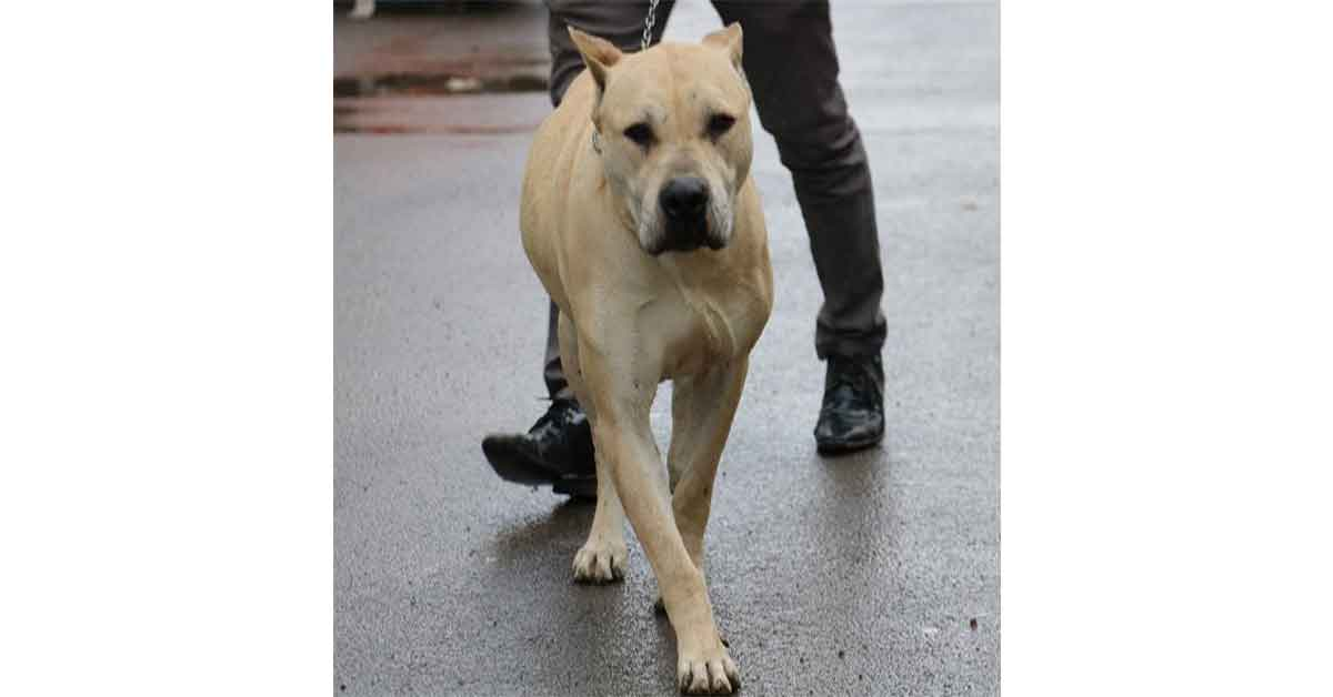 Köpekler, okullarda Covid-19 taraması yapacak