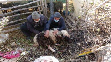 Photo of Pitbull cinsi köpekler ağılda adeta katliam yaptı