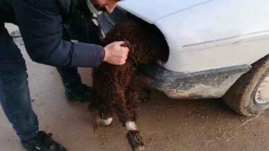 Photo of Urfa'da Elleri Ayakları Bağlanmış Kuzu Ele Geçirildi