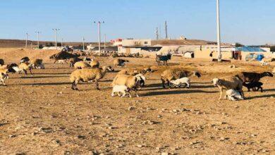 Photo of Şanlıurfa'da göçerler mera alanı bulamıyor