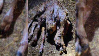 Photo of Şanlıurfa'da Doğdu! 2 Kafa, 2 Kuyruk ve 6 Ayağı Var