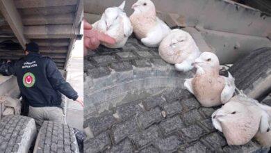 Photo of Urfa sınır kapısında güvercin kaçakçılığı