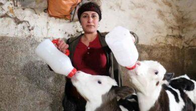 Photo of Aldığı iki inek geçim kapısına dönüştü