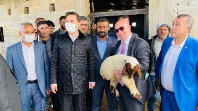 Photo of Şanlıurfa'da gözaltındaki 35 koyunu meclis kurtardı!