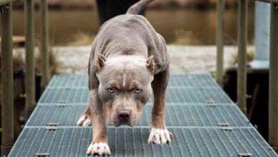 Photo of Sokakta pitbull gezdirdi, 10 bin lira ceza yedi