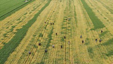 Photo of Buğday tarlasına zehir sıkılan çiftçinin bir yıllık emeğini bir gecede sararttılar