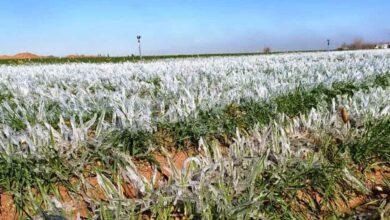 Photo of Şanlıurfa'da ekinler dondu